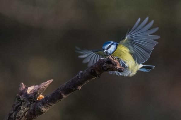 Blue Tit Landing by photographerjoe