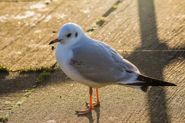 Friendly Gull by frenchie44