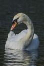 Swan Closeup by chensuriashi