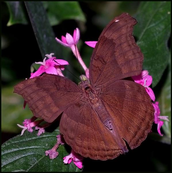 Junonia iphita-Chocolate Pansy. by Badgerfred