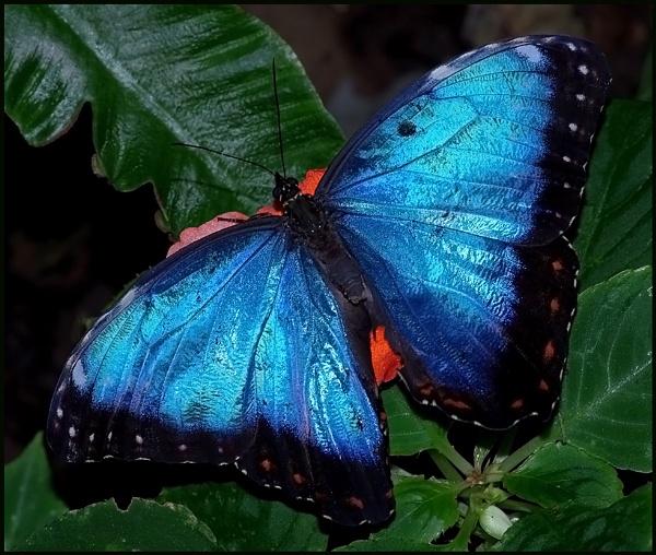 Blue Morpho-Morpho menelaus. by Badgerfred