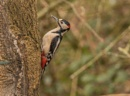 Great Spotted Woodpecker by Mike_Smith