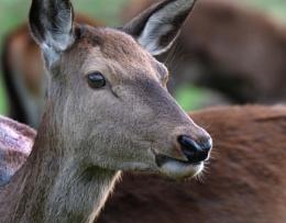 Female Red Deer.