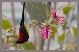 Mrs Gould's Sunbird (male)