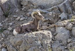 Resting Big Horn Ram