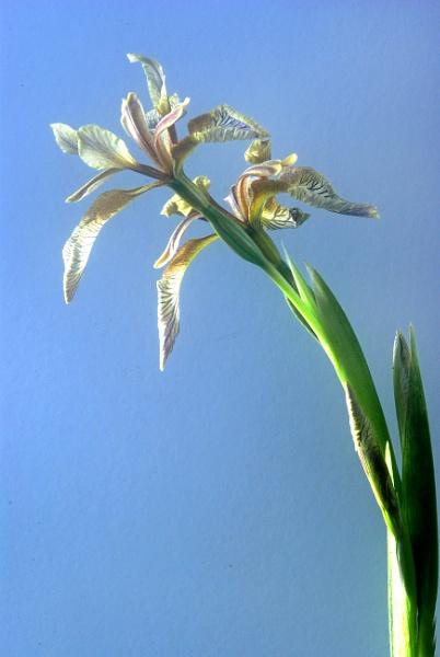 Iris Foetida