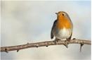 Robin by NigelKiteley