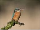 Female Kingfisher by hasslebladuk