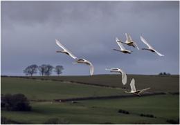 Photo : Whooper Swans In Flight