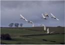 Whooper Swans In Flight by hasslebladuk