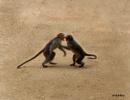 Monkey quarreling by debu