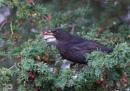 Blackbird with Yew Berry by jasonrwl