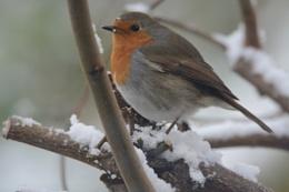 Robin + snow = Christmas