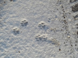 cat paws in the snow