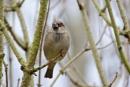 Sparrow by rickhanson