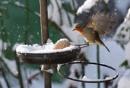 Snow robin by turniptowers