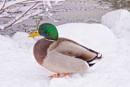 Cold duck by Danny1970
