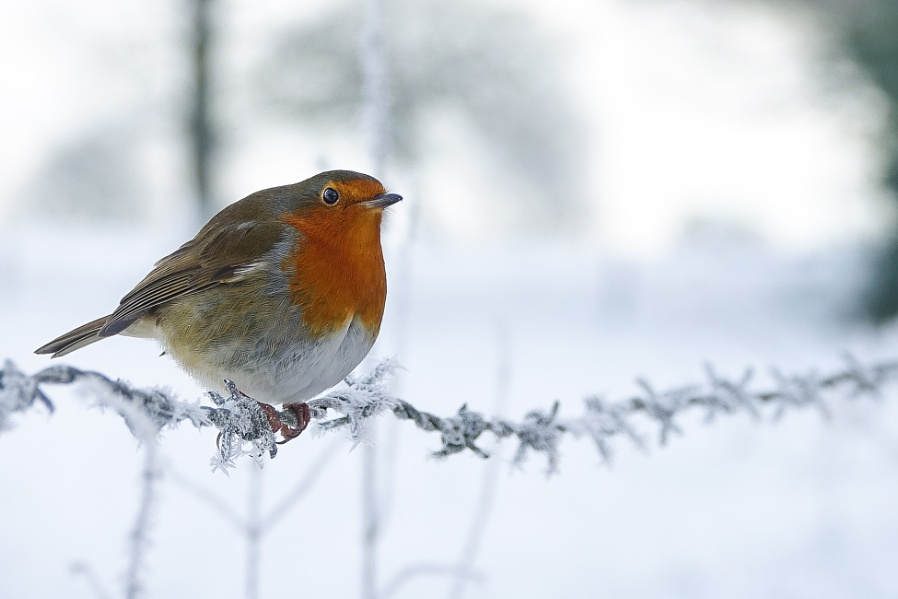 Robin served to you on iced barbwire