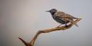 Starling (sturnus vulgaris) by Stevetheroofer