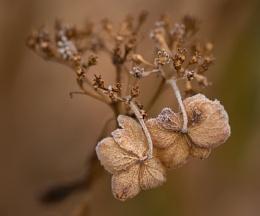 Iced Hydrangea Flowers