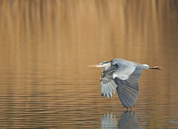 Heron in flight by Andy_brown