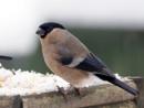 Female Bullfinch by bppowell