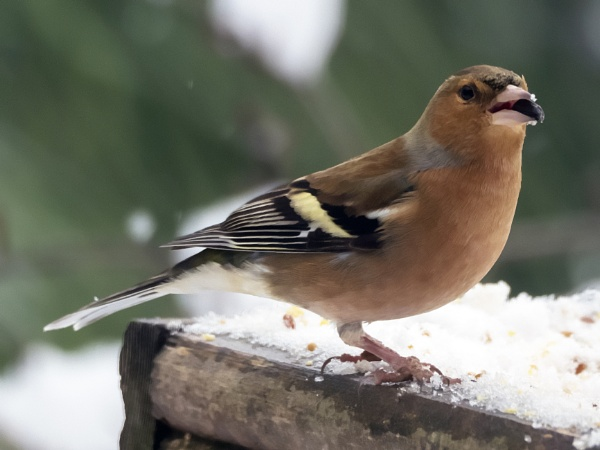 Chaffinch - Male by bppowell