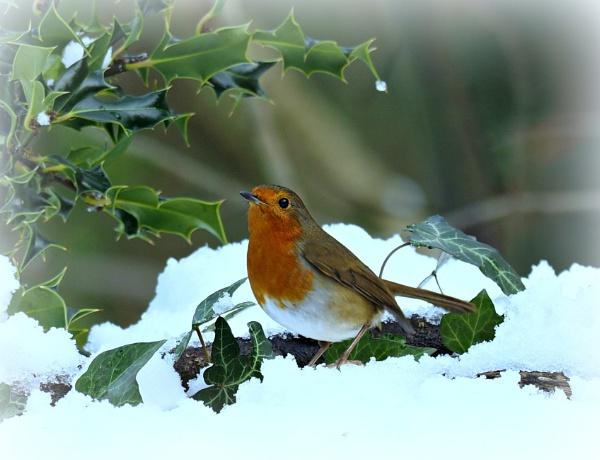 Robins. by brandish