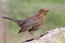 Blackbird (F)Turdus merula by bobpaige1