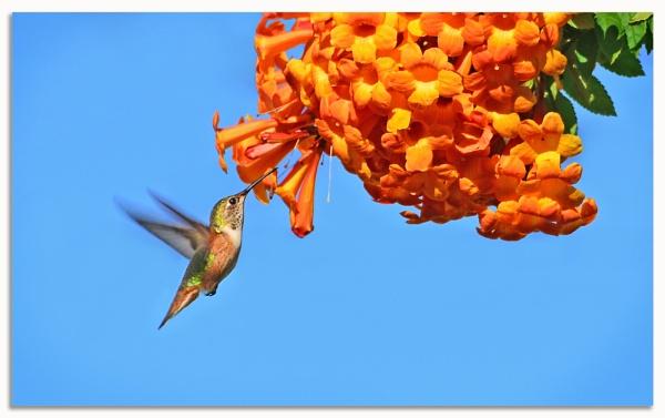 Hummingbird by pixmo