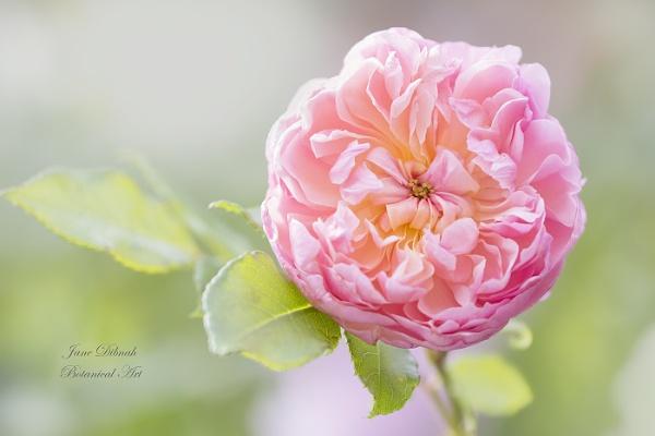 Rose - A reminder of summer by janedibnah