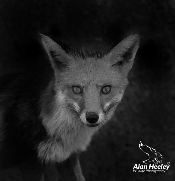 Fox by AH1shot