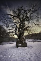 twisted old oak