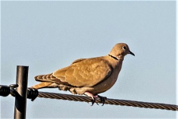 One Dove A Calling