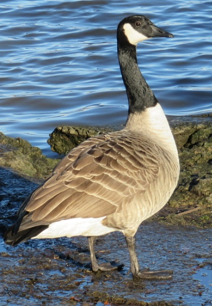 Canada Goose by Don20