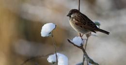House Sparrow in the Garden