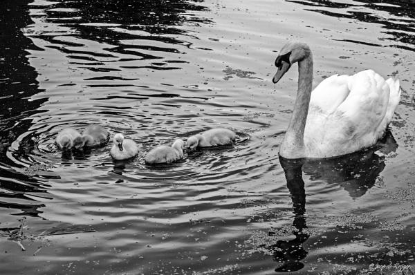 Swans by joop_
