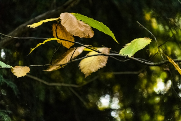Leaf bokeh by OverthehillPhil