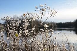Snowy Hogweed