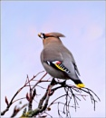 Waxwing. by bricurtis