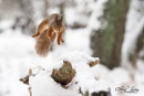 Red squirrel in snow, jumping by csurry