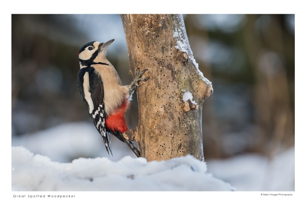 Great Spotted Woodpecker by running_man