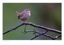 Singing Wren by running_man