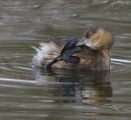 LITTLE GREBE by ringyneck
