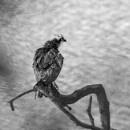 Osprey Encounter by Platchet