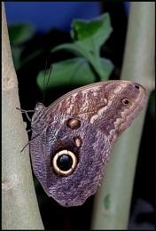 Owl Butterfly-Caligo memnon.