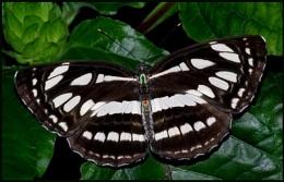 Heliconius charithonia-zebra heliconian.