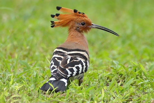 Hoopoe by colin beeley