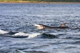 Porpoise with Salmon