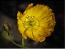 Yellow Poppy by Daisymaye